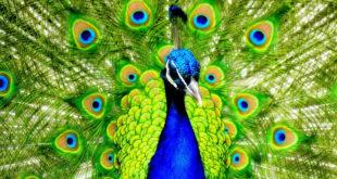 Magic Leap plumes paon lumière