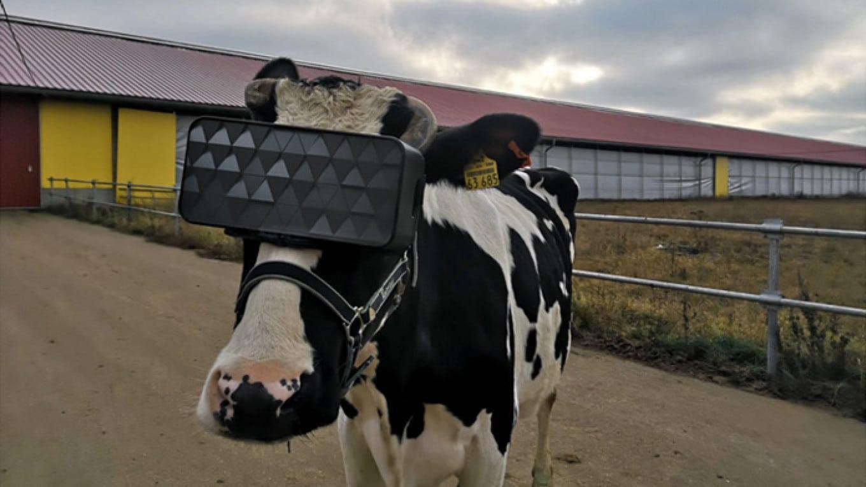 vache russie casque vr