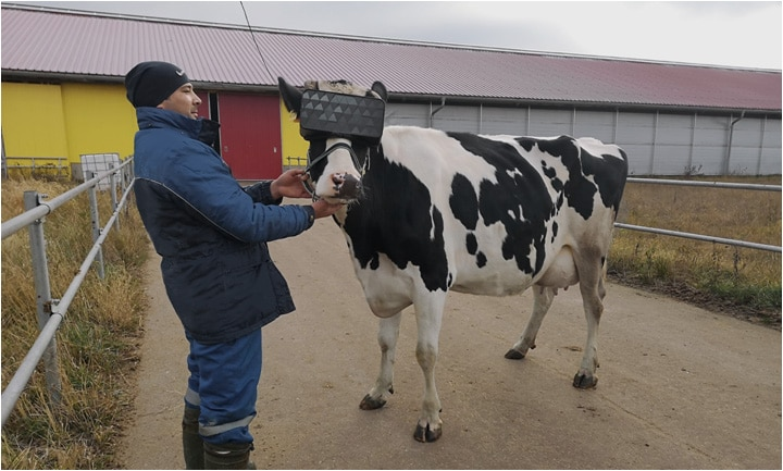 vr russie vache